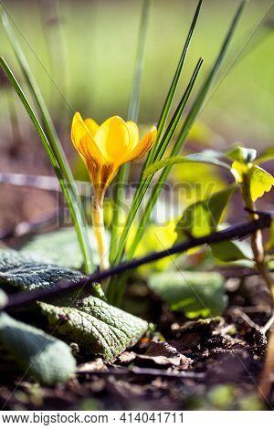 A Closeup Portrait Of A Yellow Crocus Or Crocus Flavus Standing In A Garden In Between Other Vegetat