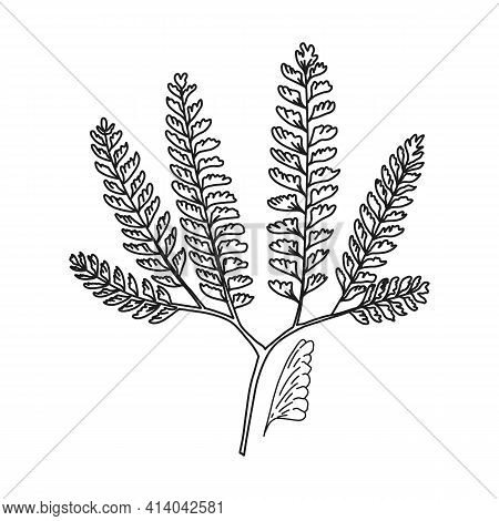 American Maidenhair, Line Plant, Vector Illustration. Official Nature Cartoon Object Name Capil, Her
