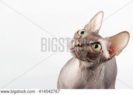 A Naked Sphinx Cat With Green Eyes Looks Up With Interest. A Funny Bald Kitten Sits In Profile, Look