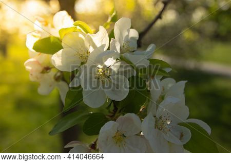 Beautiful Fresh Flowers In Full Bloom.natural Decoration.apple Blossoms During Springtime.sweet-smel