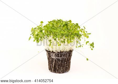 Bok Choy Microgreen With Roots And Soil. Micro Greens Arugula Sprouts On White Background. Microgree