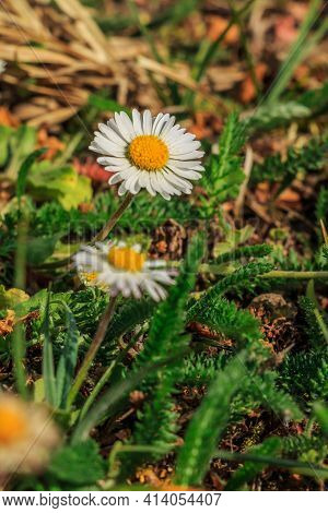 Meadow In Spring With Daisies. Several Flowers Of The Meadow Bloomer. White Petals In The Spring Sun