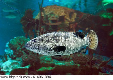 Pacific Goliath Grouper Or Epinephelus Quinquefasciatus, Also Known As Pacific Itajara Grouper, Is A