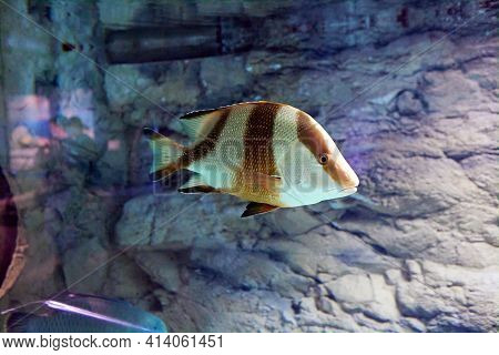 Lutjanus Sebae Or Emperor Red Snapper Behind Glass Of  Marine Aquarium In Russian City Of St. Peters