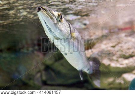 Great Barracuda Or Sphyraena Barracuda Behind Glass Of  Marine Aquarium In Russian City Of St. Peter