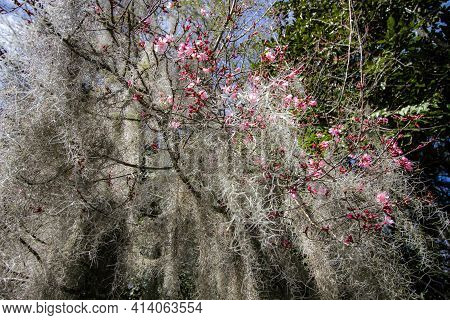 South Carolina Spring. Pink Magnolia Flowers Bloom Against A Background Of Spanish Moss In Charlesto