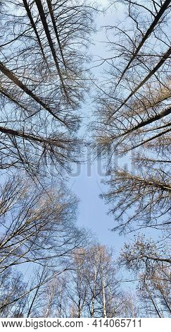 Winter Tree Tops Viewed Looking Up At Sunset. Bottom View Trees. Blue Sky. Trunks Of Larches. Forest