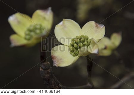 Macro Closeup Stem And Flowering Dogwood Flower White With Tiny Green Buds In The Spring In Georgia