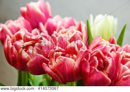 Close-up Of A Bunch Of Fresh Pink Tulips In The Crystal Vase. Colourful Flowers And Herbs. Womens An