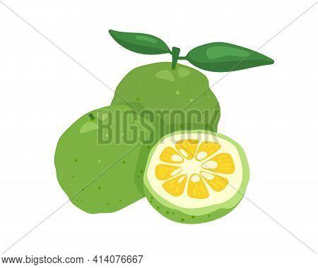 Green Yuzu Japanese Citron Fruit Vector Illustration Isolated On White Background.