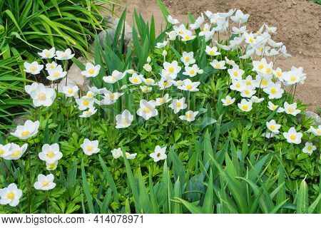 White Flowers Anemone Forest (latin: Anemone Sylvestris) In The Garden. Perennial Herbaceous Plant A