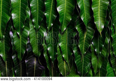 Green Leaves Background Of Thailand Barracuda Mango.