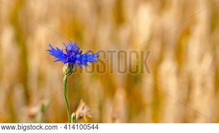 Blue Cornflower On The Edge Of A Wheat Field