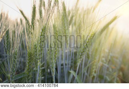 Morning Dew On Spikelets Of Barley, Young Barley In The Field Bathed In Dew And Morning Sunlight