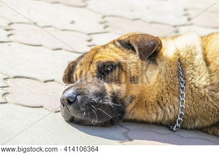 Stray Dog Sleeps In Sun On Playground In Park. Sunny Summer Day. Side View. Copy Space.