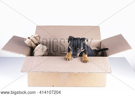 During The Corona Crisis, More Puppy Sellers Are Offering Home Deliveries. Jack Russell Puppy Dog Re