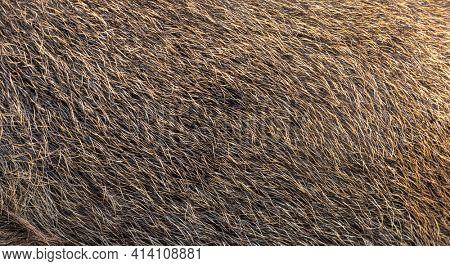 Close-up on Wild boar coat