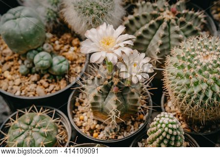 Cactus Flowers, Gymnocalycium Mihanovichii With White Flower Is Blooming On Pot, Succulent, Cacti, C