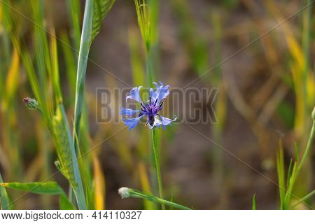 Blooming Blue Cornflower Flower On A Sunny Day