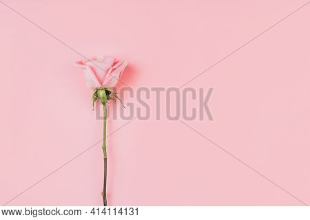 Beautiful Rose Against Pink Background. Free Space For Text