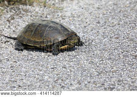 Po River (fe),  Italy - April 30, 2017: A Turtle Near Po River, Delta Regional Park, Emilia Romagna,