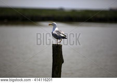 Po River (fe),  Italy - April 30, 2017: A Gull Perched On A Trunk Near Po River, Delta Regional Park