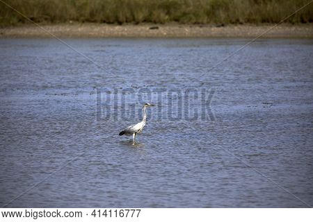 Po River (fe),  Italy - April 30, 2017: A Typical Water Heron Bird Near Po River, Delta Regional Par