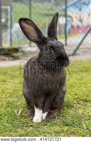 A Dirty Black Rabbit With White Paws On The Green Grass In The Park