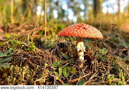 Red Mushroom Amanita Toxic, Also Called Panther Cap. False Blusher Amanita Mushroom In The Forest Ag