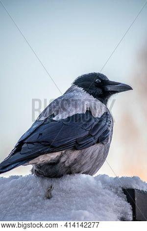 Hooded Crow Corvus Cornix In Winter Snow Falling, Eurasian Large Species In The Corvus Genus, Corvid