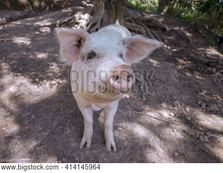 Small Piglet On The Farm. White Pig On Outdoor Pasture Of Farm. Ethical Animal Farming. Outdoor Past