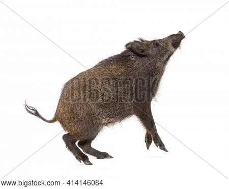 Wild boar looking up, on hind legs, and trying to jump, isolated on white