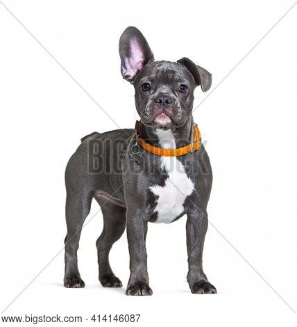 French Bulldog wearing an orange dog collar listening with one ear up