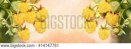 Yellow Ripe Raspberries On A Branch, Wide-screen Unfocused Background. Art Design, Banner