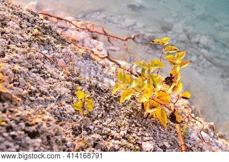 Yellow Leaves On A Small Shrub On The Shore Of A Stone Beach On A Background Of Turquoise Sea Water.