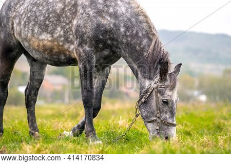 Beautiful Gray Horse Grazing In Summer Field. Green Pasture With Feeding Farm Stallion.