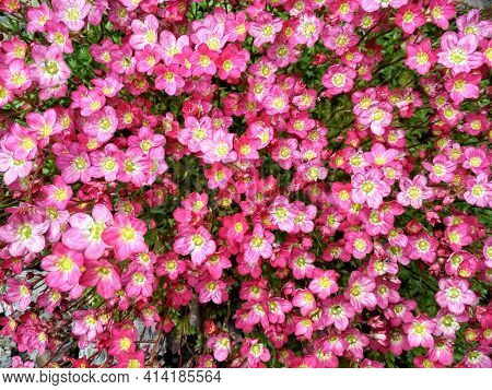 Many Little Pink Flowers Saxifraga Background. Saxifraga Pink Little Flowers Background. Purple Flow