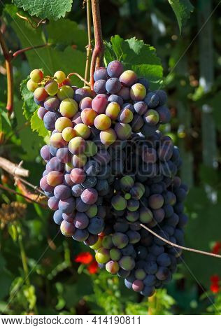 Multicolor Unripe Grape On The Vine In Summer Garden. Eco-friendly Agriculture. Home Farm Or Manor F