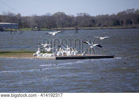 American Pelicans (pelecanus Erythrorhynchos) Flying Toward A Pelican Flock Over A Flock Of Cormoran