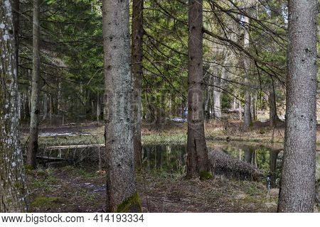 An Empty Forest With Pronounced Tree Trunks By A Forest River With Perfectly Reflective Water. Sprin