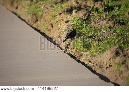 Brown-headed Cowbird (molothrus Ater) Strutting Up A Hill Near A Sidewalk