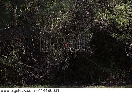 Male Cardinal (cardinalis Cardinalis) Bird Perched In A Shrub