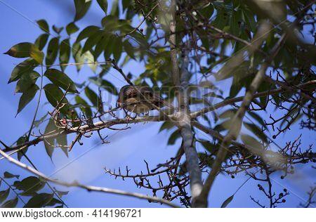 Cardinal (cardinalis Cardinalis) Bird On A Tree Branch Eating