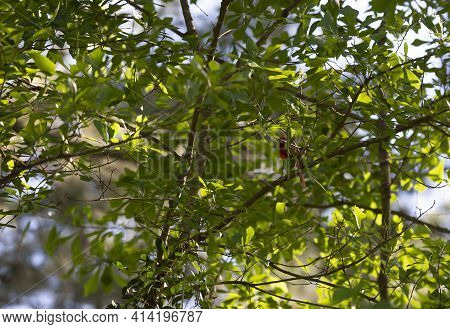 Male Cardinal Cardinalis Cardinalis Hiding In Green Leaves In A Tree