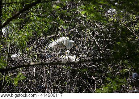 Great Egret Parent Watching Over Its Chicks