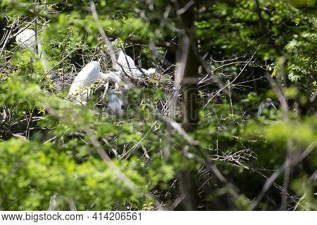 Great Egret (ardea Alba) Parent Feeding A Chick