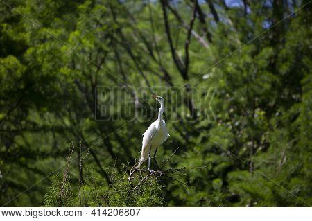 Great Egret (ardea Alba) Guarding Its Colony From A Tree Perch