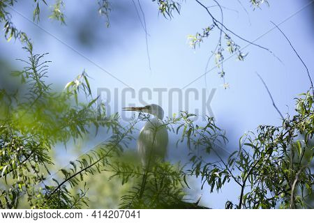 High Key Toned Image Of A Great Egret (ardea Alba) On A Tree Top