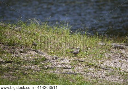 Mourning Doves (zenaida Macroura) Foraging Through The Grass On A Lake Shore