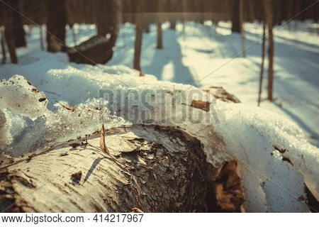 Snow-covered Birch Log In The Forest. Spring In The Forest. Warm Spring Sun In The Forest. Details O